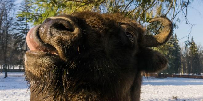 Bison qui se régale avec l'herbe